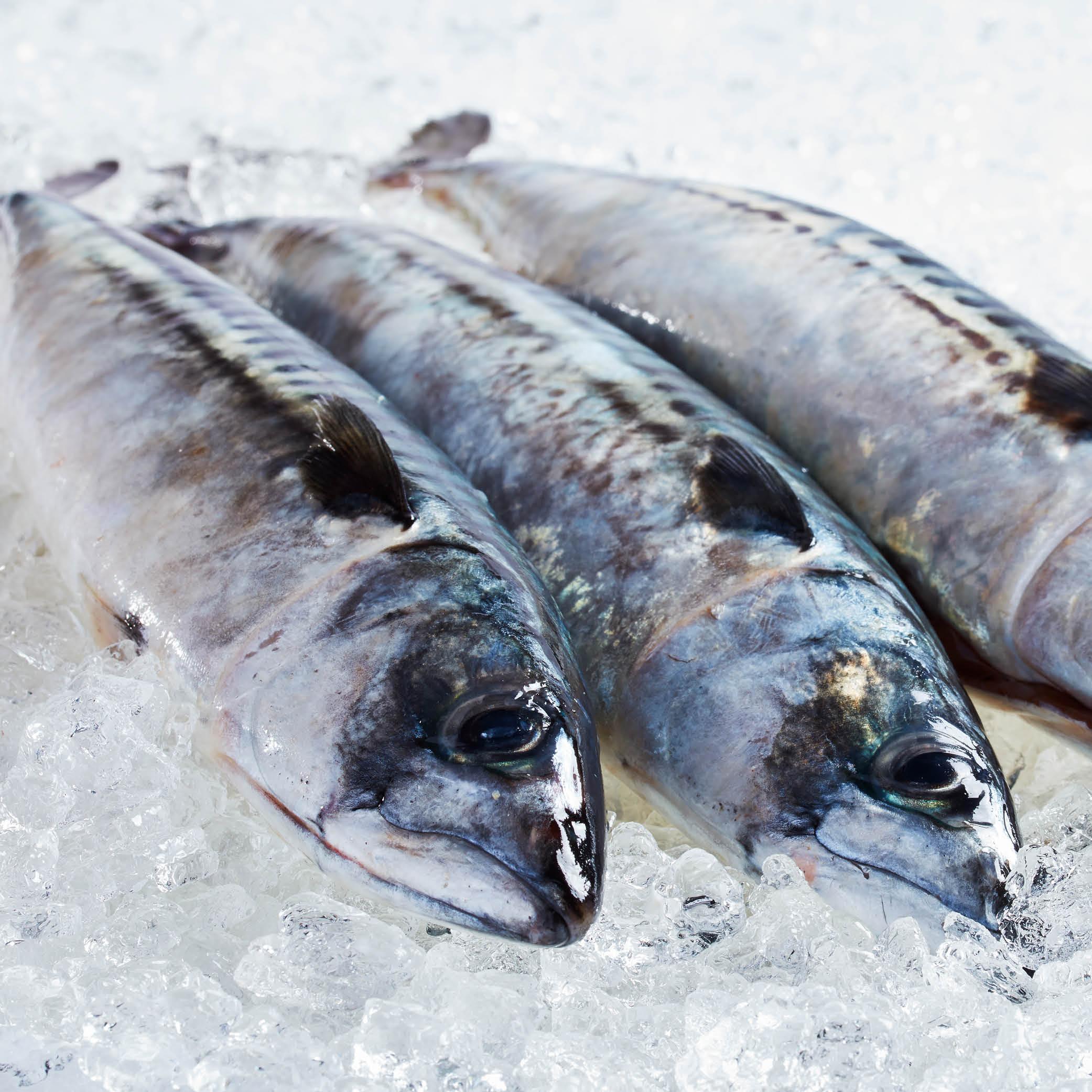 Friske fisk fra Insula Hanstholm